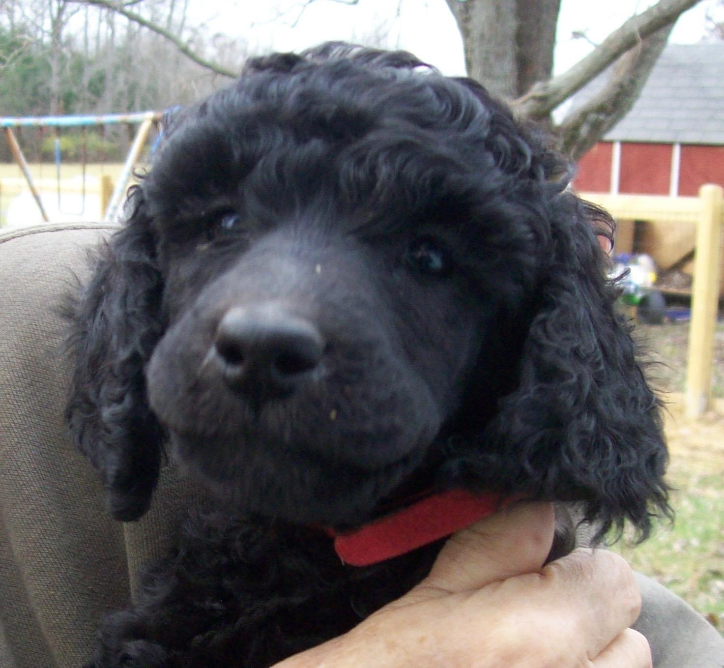 Indiana Standard Poodle Dog Breeder Central IN Silver Black Brown