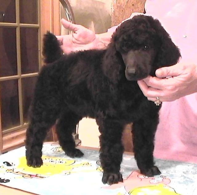 BIRDPATCH KENNELS Indiana Standard Poodle Dog Breeder Central IN