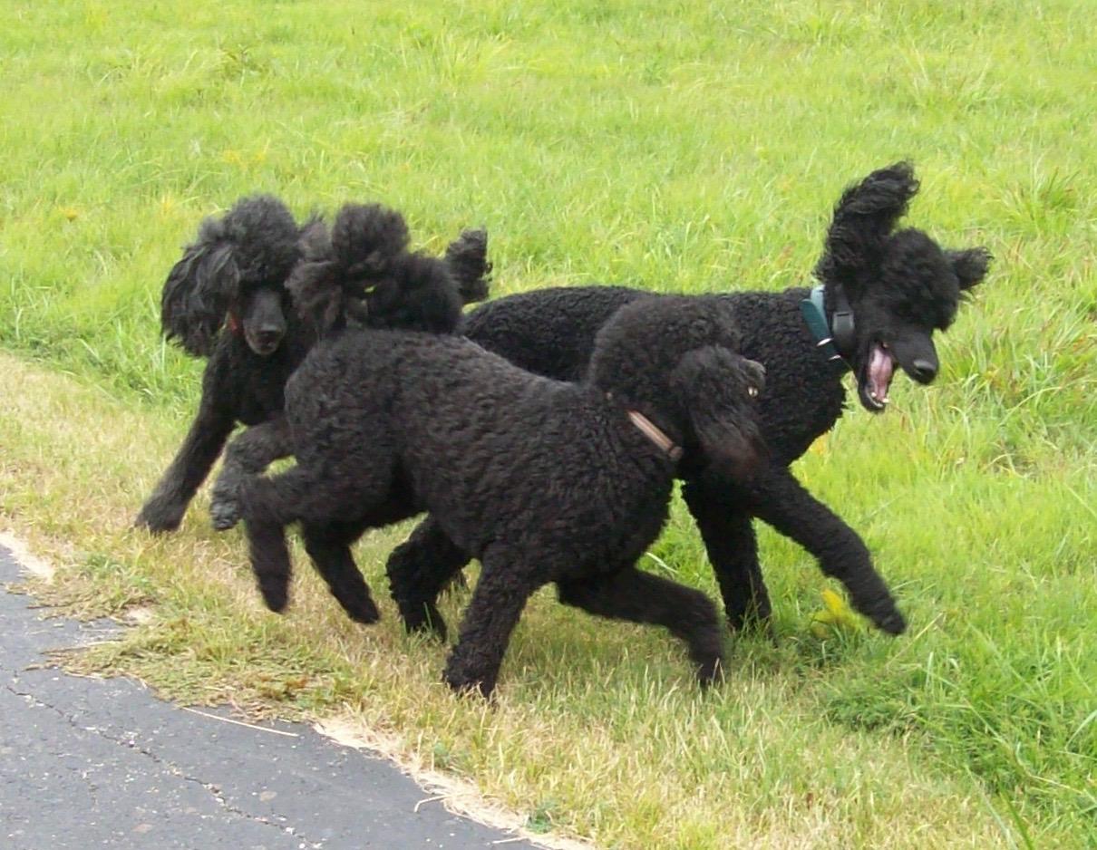 indiana standard poodle dog breeder central in silver standard