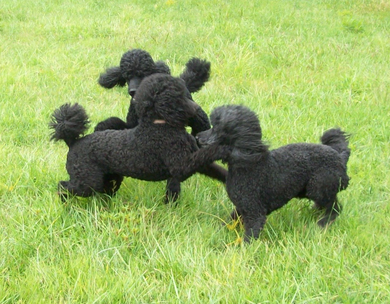 Indiana Standard Poodle Dog Breeder Central IN Silver